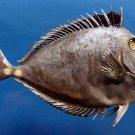 B263  20038 Orangespine Unicornfish Naso lituratus, 135 mm