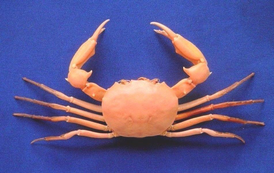 63986 Carcinoplax longimana 51 mm