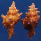 B271 20114 Seashell Chicoreus strigatus, 2 pcs 40-37.8 mm