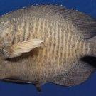 B269 20133 Big-lip damselfish  Cheiloprion labiatus 65 mm