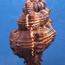 B267  31035 Firebrand murex Chicoreus torrefactus, 100 mm