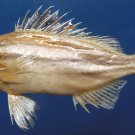 B267 20140 Sixlined Trumpeter Helotes sexlineatus 105 mm