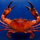 B267  31056 Swimming crab Charybdis hellerii 71 mm