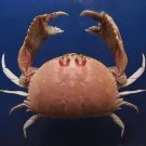 B269 31109 Spectacled Box Crabs Calappa philargius 85 mm