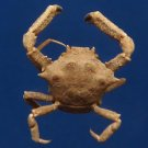 B266  20182 Crinoid crab Harrovia japonica 11 mm