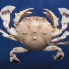 sold andalloyd 31123 Spotted Moon Crab Ashtoret lunaris 34 mm