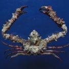 B271 31189 Elbow crab Rhinolambrus hayamaensis 34 mm