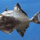 05427 Red-toothed triggerfish Odonus niger, 142 mm, Freeze Dried Taxidermy