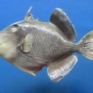 79846 Real Yellowmargin Triggerfish Pseudobalistes flavimarginatus 205 mm Fish Taxidermy
