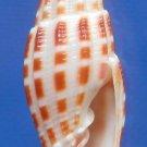 55712 Seashell Vexillum stainforthi, 24.7 mm