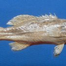 80426 Spotted coral grouper Plectropomus maculatus