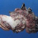 B273 20228 Common delphinula Angaria delphinus 61.2 mm