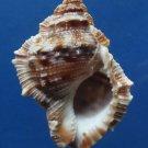 B274 SPBUFOCAVI 20246 Frog shell Bufonaria cavitensis, 47 mm