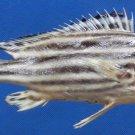 B276 76529 Orientalis Sweetlipfish Plectorhinchus orientalis, 160 mm