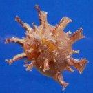02558 Seashell Bolma girgyllus, 72 mm