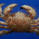 B281 20294 Hairy Crab Globopilumnus actumnoides, 33 mm
