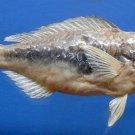 B284 79816 Globehead parrotfish Scarus globiceps, 250 mm