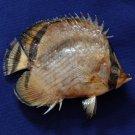 30490 Vagabond Butterflyfish Chaetodon vagabundus 99 mm