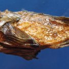 B284 20303 Guam scorpionfish Scorpaenodes guamensis, 125 mm