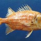 B284 20305 Japanese soldierfish Ostichthys japonicus, 130 mm