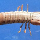 80613 Smasher Mantis Shrimp Gonodactylus chiragra 20 mm