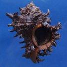 B285 81601 Seashell Branched Murex Chicoreus ramosus, melanistic, 60 mm