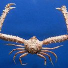 80644 Elbow crab Parthenope longispinosus 30 mm