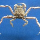 Gems Under the Sea 80209 Porter Crab Dorippe quadridens 27 mm