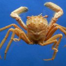 63897 Homolid Crab - Homola orientalis, 34 mm