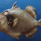 B288 20333 Titan Triggerfish Balistoides viridescens, 170 mm