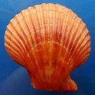 B289 20341 Mimachlamys sanguinea, 105.5 mm