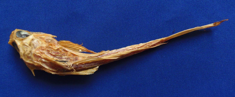B293 20378  Cottidae sp. 240 mm