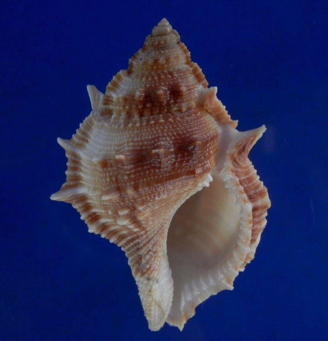 B294 77836 Seashell Bursa cristinae, 62 mm