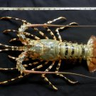 77686 Painted spiny lobster- Panulirus versicolor Crab taxidermy XL