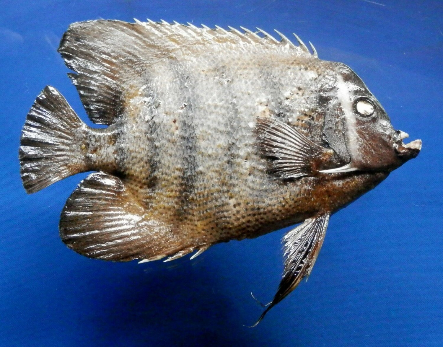 79389 Sixband Angelfish Pomacanthus sexstriatus, 250 mm Real Fish Taxidermy Oddities