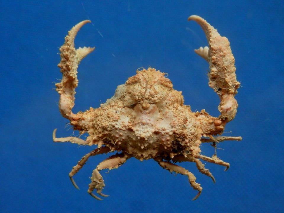 80057 Elbow Crab Pseudolambrus beaumonti 17 mm
