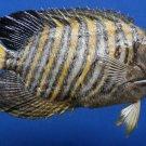 B296 80828 Regal Angelfish Pygoplites diacanthus 200 mm