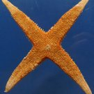 B297 87820 Gems Under the Sea Sand Sifting Star Archaster typicus 101 mm