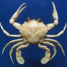 B297 78590 Swimming crab - Ovalipes iridescens, 47 mm