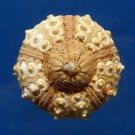 B297 20428 Sea urchin Prionocidaris baculosa 45 mm