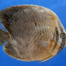 B297 57845 Triangular Butterflyfish - Chaetodon baronessa, 92.3 mm