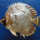 B298 79656 Philippine butterflyfish Chaetodon adiergastos,130 mm Freeze Dried Fish Taxidermy