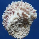 B302 20547 Seashell Chama brassica 41 mm