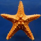 10202 Pentaceraster Sea Star Pentaceraster mammillatus 112 mm