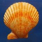 B301 20499  Mimachlamys sanguinea, 76 mm