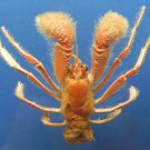 B302 20553  Paguropsis typica 11 mm