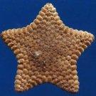 10257 Cushion Star Culcita novaeguineae 49 mm