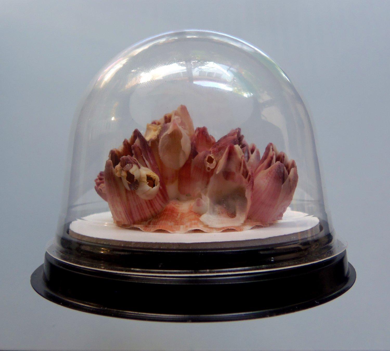 B308 20650 Barnacle Megabalanus tintinnabulum in a plastic dome