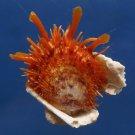 B307 20669  Spondylus variegatus  54 mm
