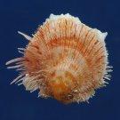 B309 20699  Spondylus occidens f. jamarci, 25 mm